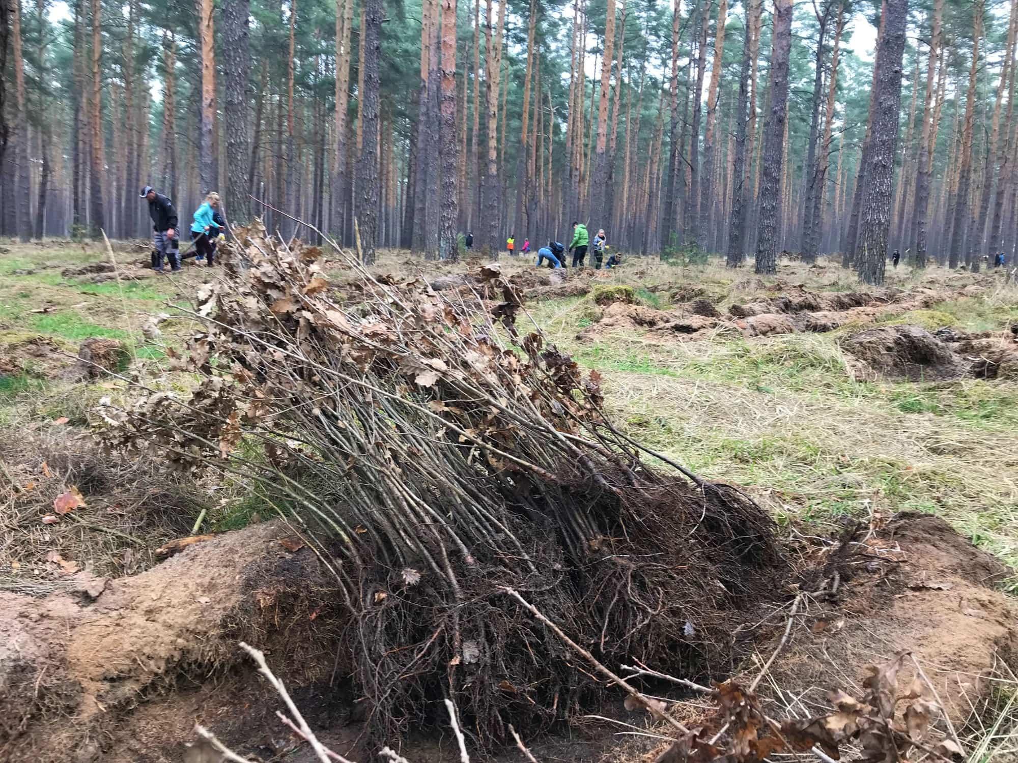 fa84ca5bcc8fba Junge Bäume warten auf die Pflanzung – Hanse Forst